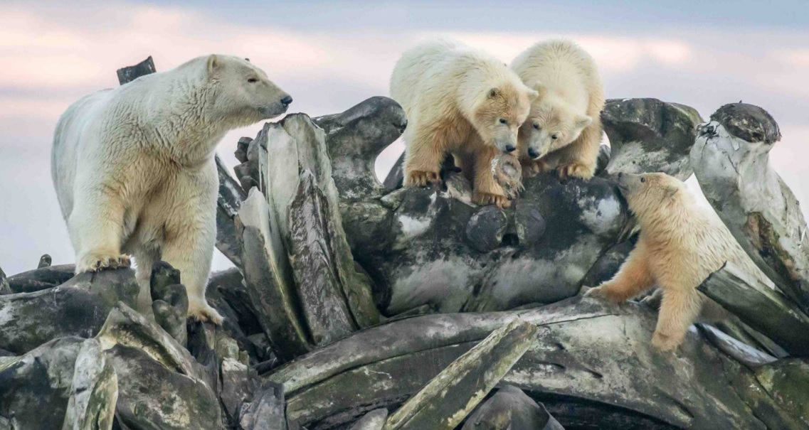 Polar bear with her babies so beautiful.