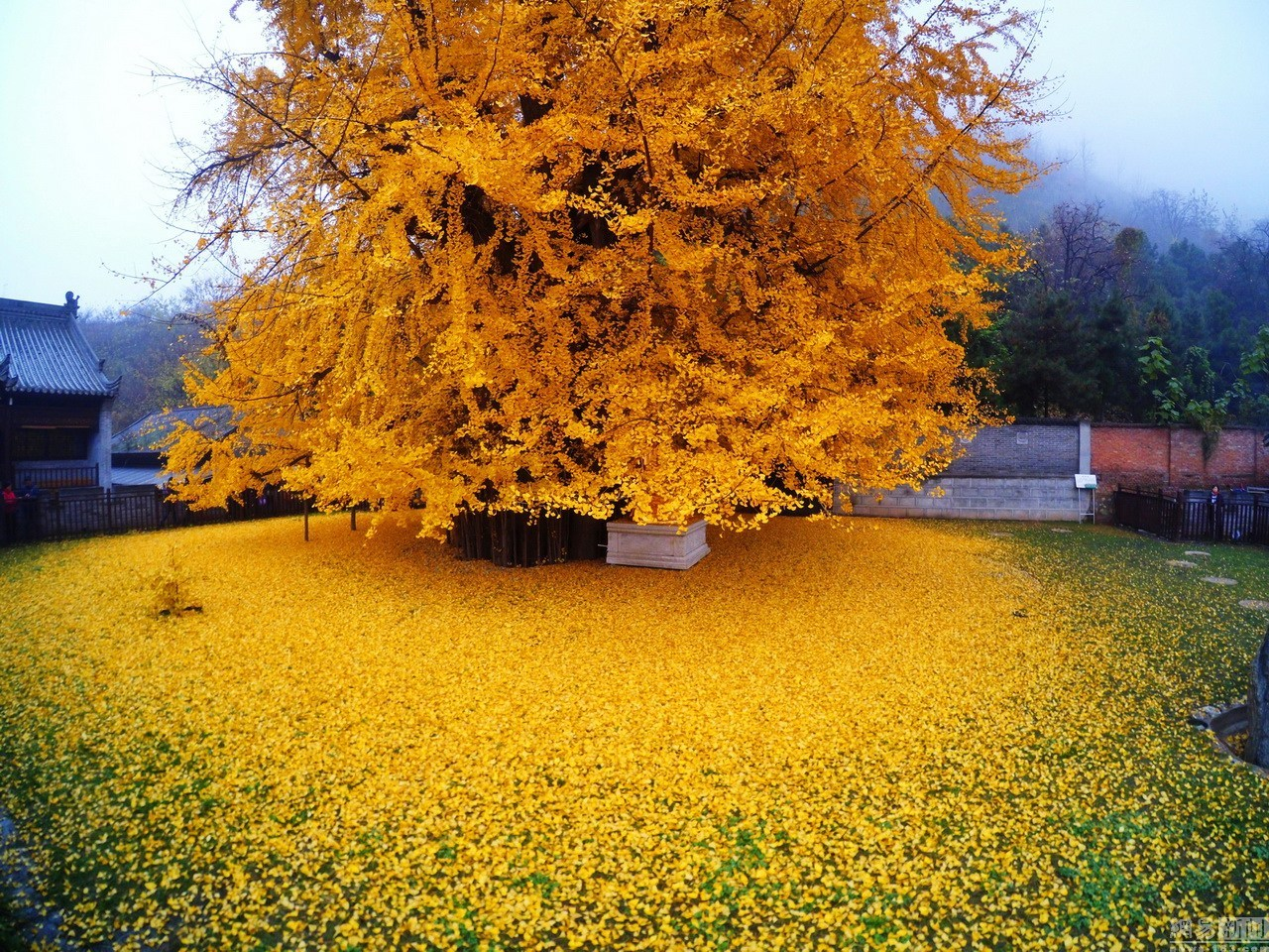 An Ancient Chinese Ginkgo Tree Releases an Ocean of Golden Leaves