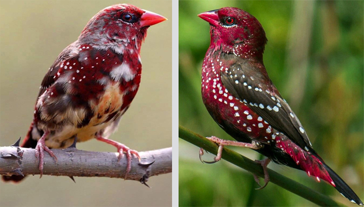 This Wonderful Bird Grows Strawberry-Like Plumage During The Breeding Season