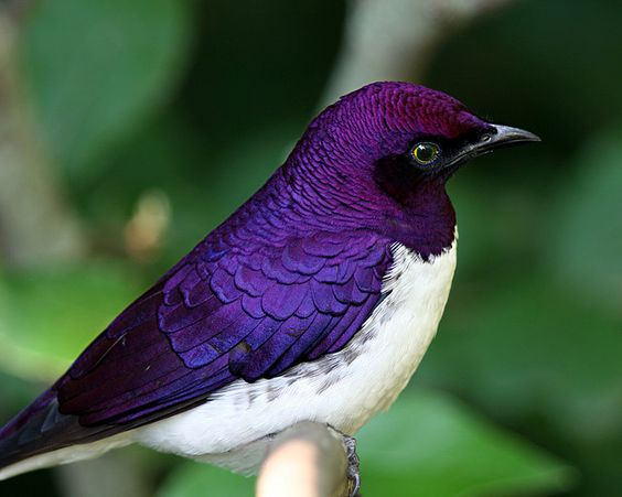 The Magnificent Violet-backed Starling